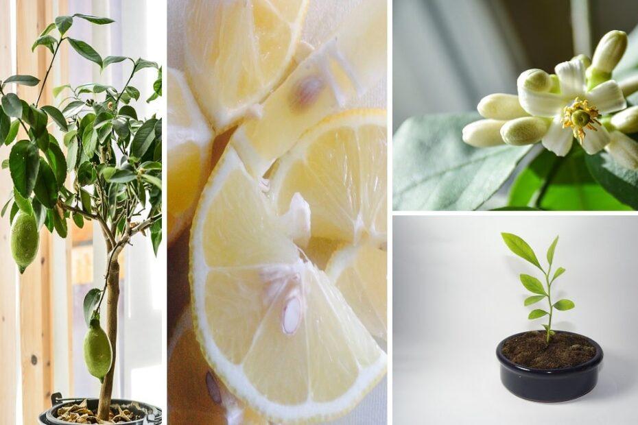 Piantare I Semi Di Limone Per Profumare Casa